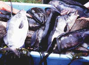 Mike's Catch of Day - Moki, Butterfish