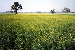 Mustard Field in Bloom
