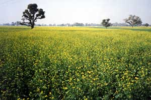 Mustard Field in Bloom