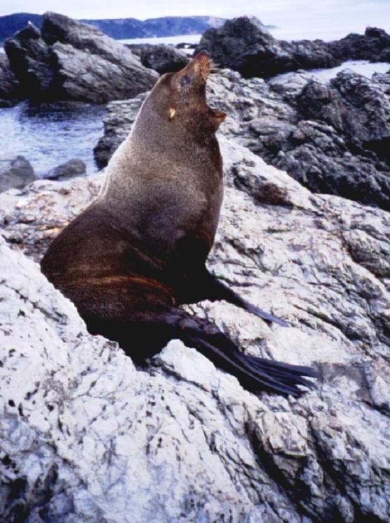 NZ Fur Seal Oaro
