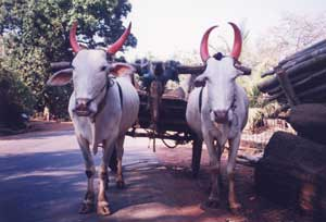 Decorative Oxen