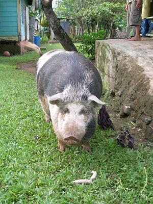 Aki's Pig