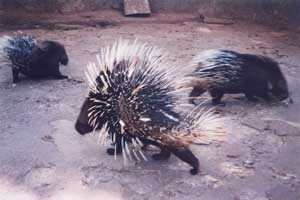 Porcupines at Bondla Sanctuary, Goa