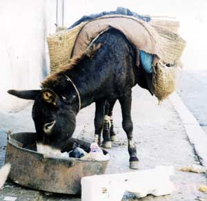 Working Donkey, Larache