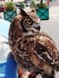 Syracusa Ortija - Pet Owl