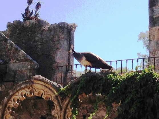 Evora Peacock