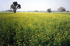 Mustard field in India