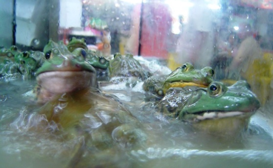 Frogs - Singapore