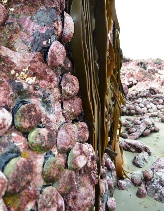 Paua - Kaikoura - Ref Twitter Lou Gordon Green