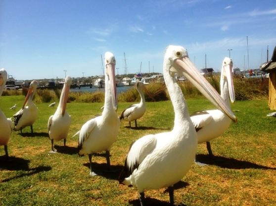 The West Australain Pelican