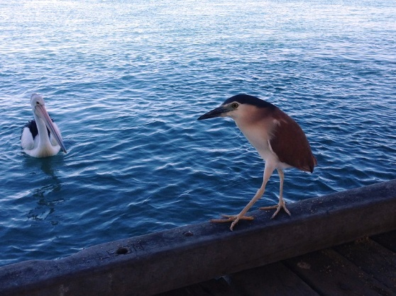 Pelican and Night Heron