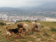 Maroc Tetouan - sheep ready to head-butt