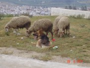 Maroc Tetouan - sheep grazing, dog watching