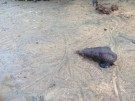 Negombo - sea snails