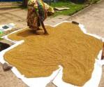 Drying rice - Sri Lanka