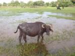 Water buffalo - Sri Lanka