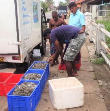 Fresh prawns - Sri Lanka