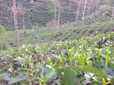 Haputale - tea estates
