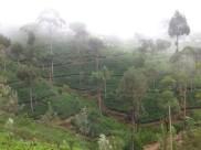 Haputale tea plantation
