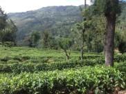 Tea plantations - Haputale