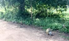Local monkeys