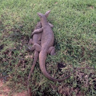 Monitor lizards common in Sri Lanka