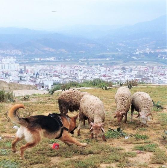 Maroc - sheep grazing