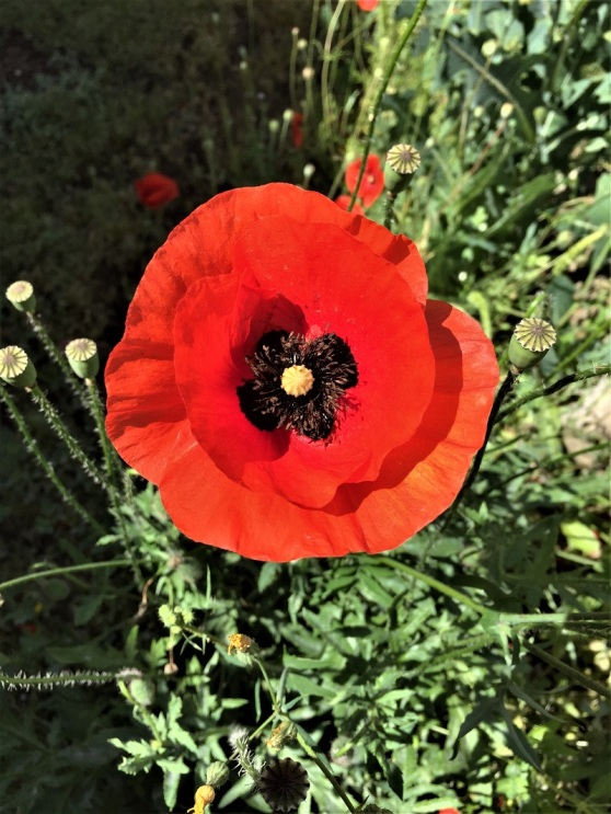 A sad association with the deaths in Flanders' fields burdens this beauty